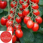 Biologische Cherry-pruimtomaat 'Bolstar Baloe F1'
