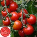 Biologische Cherrytomaat 'Zuckertraube'