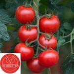 Biologische Tomaat zaden 'Bolstar Gimli F1'