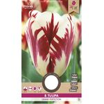 Triumph Tulp Grand Perfection