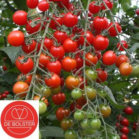 Biologische zaden Cherry tomaat 'Bartelly F1'